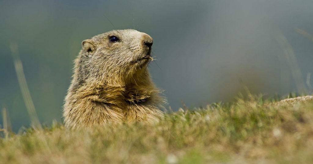 Marmotte à Chabanon